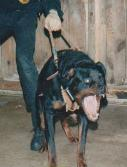 dog training school for gun dog  training dog behavior modification, basic and advanced obedience training.