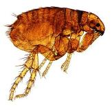 Artest redition of a flea