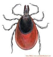Female dear tick